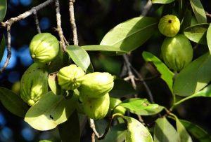 Garcinia Cambogia pastillas quemagrasas naturales