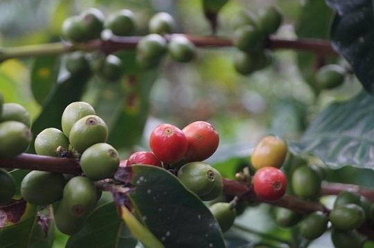 extracto de cafe verde para adelgazar