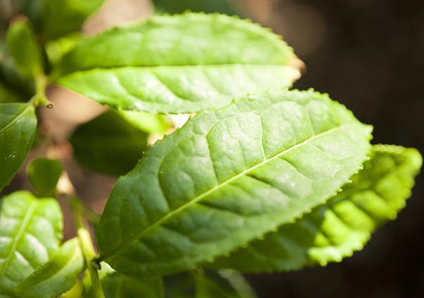 extracto de te verde quemadores de grasa naturales