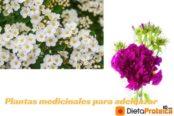 plantas medicinales para adelgazar naturalmente